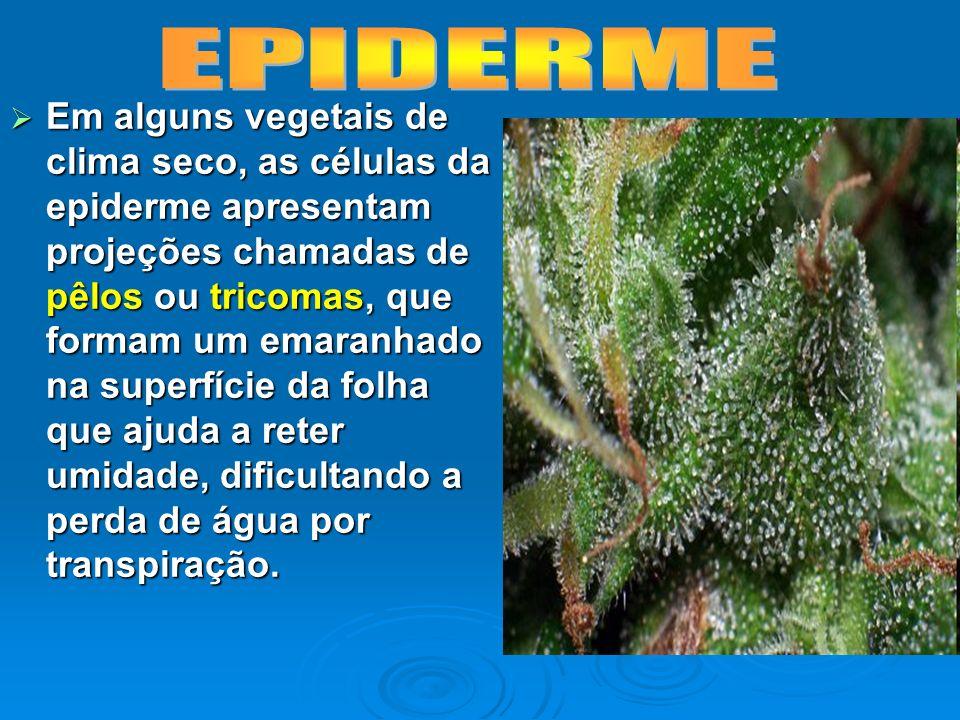 Em alguns vegetais de clima seco, as células da epiderme apresentam projeções chamadas de pêlos ou tricomas, que formam um emaranhado na superfície da