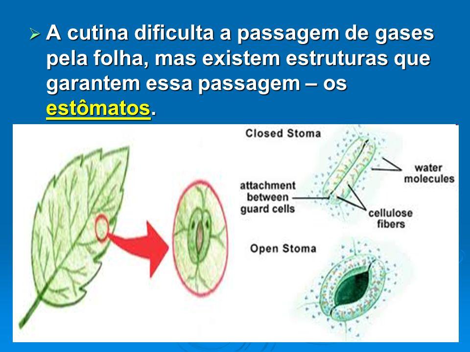 A cutina dificulta a passagem de gases pela folha, mas existem estruturas que garantem essa passagem – os estômatos. A cutina dificulta a passagem de