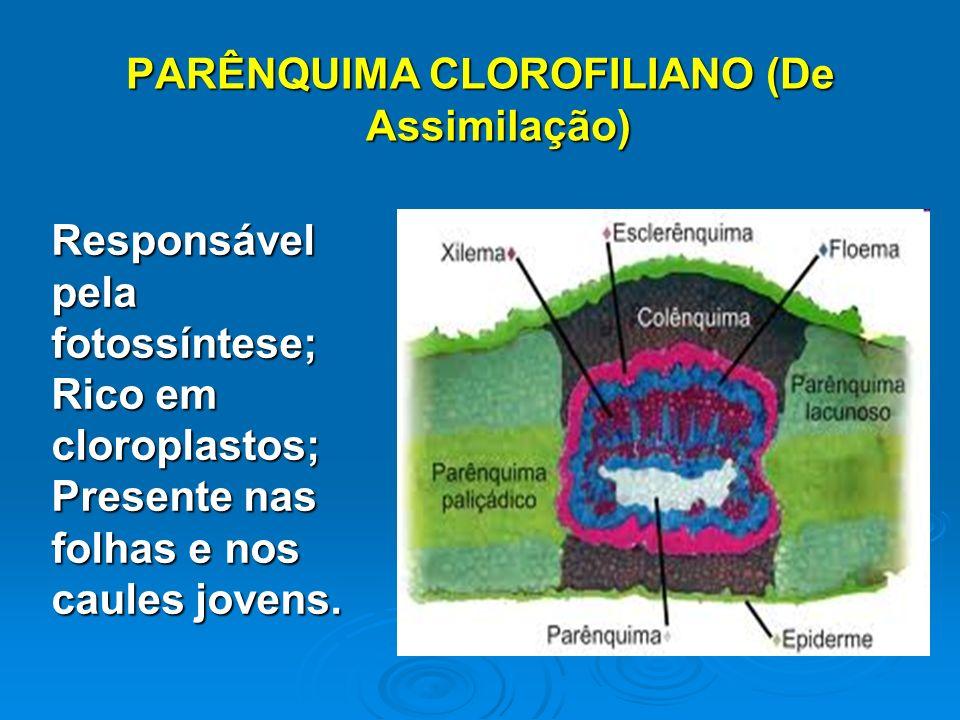 PARÊNQUIMA CLOROFILIANO (De Assimilação) Responsável pela fotossíntese; Rico em cloroplastos; Presente nas folhas e nos caules jovens.