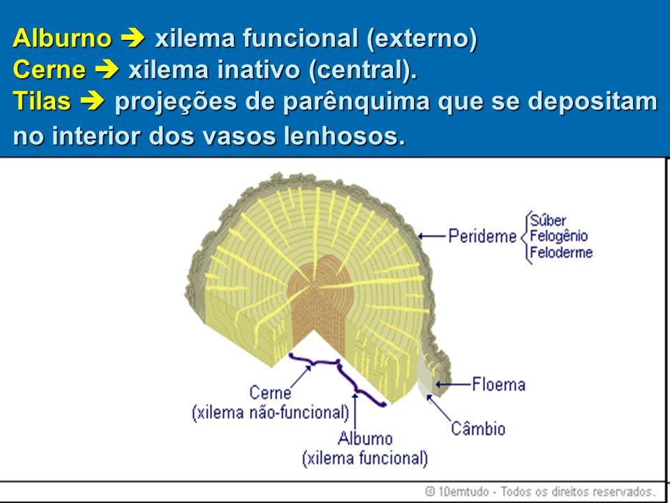 Alburno xilema funcional (externo) Cerne xilema inativo (central). Tilas projeções de parênquima que se depositam no interior dos vasos lenhosos.