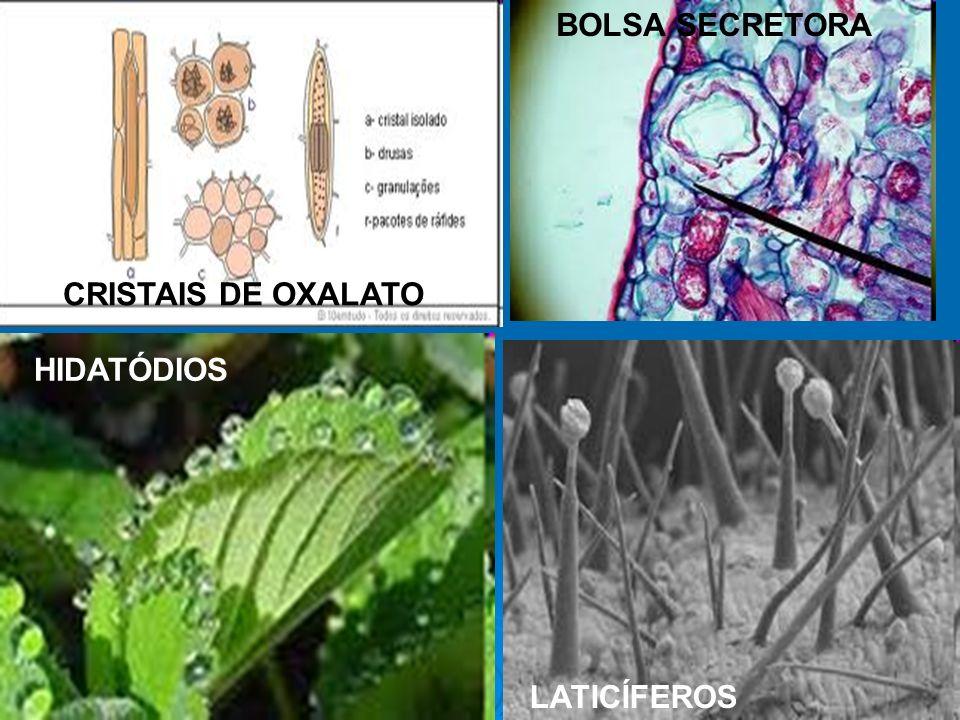 HIDATÓDIOS LATICÍFEROS BOLSA SECRETORA CRISTAIS DE OXALATO