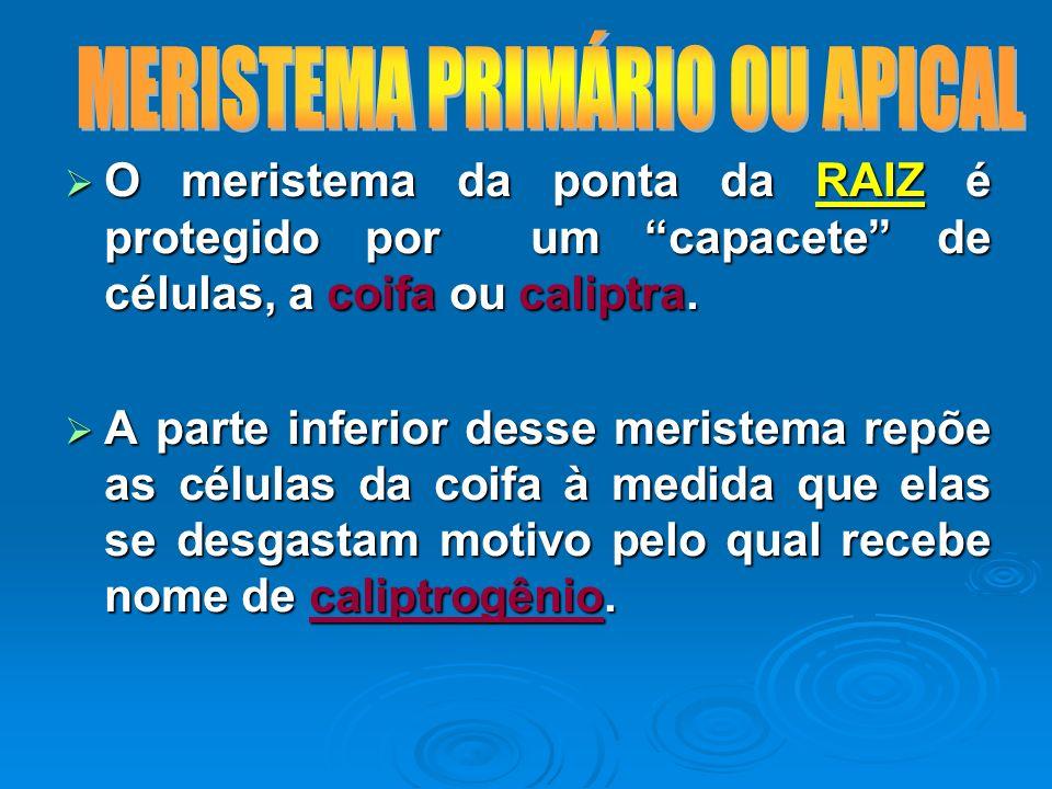 O meristema da ponta da RAIZ é protegido por um capacete de células, a coifa ou caliptra. O meristema da ponta da RAIZ é protegido por um capacete de