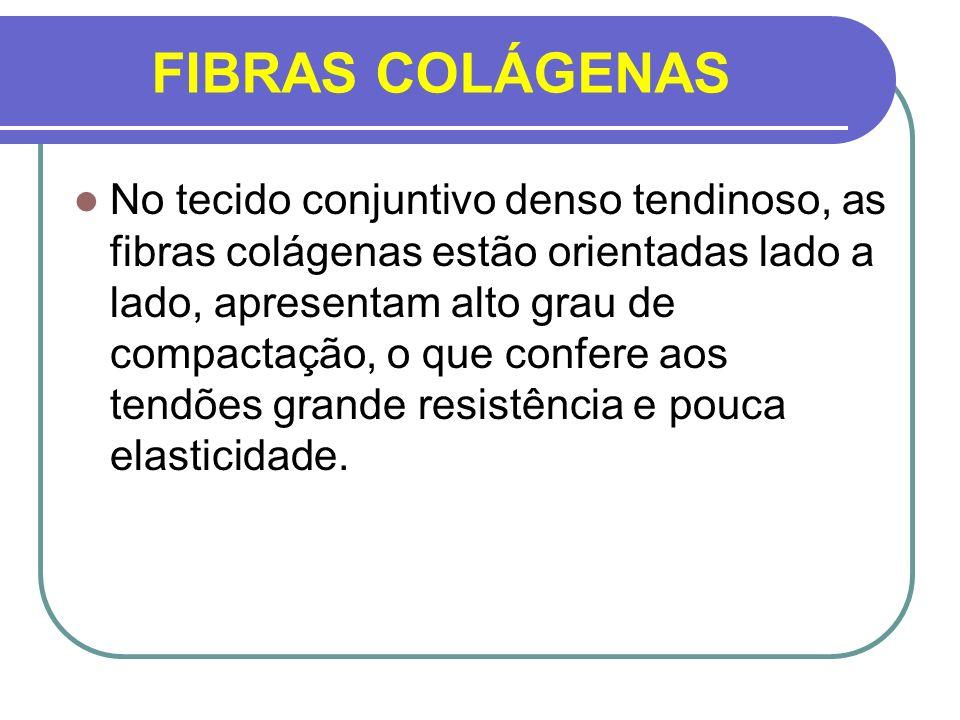 FIBRAS COLÁGENAS No tecido conjuntivo denso tendinoso, as fibras colágenas estão orientadas lado a lado, apresentam alto grau de compactação, o que co