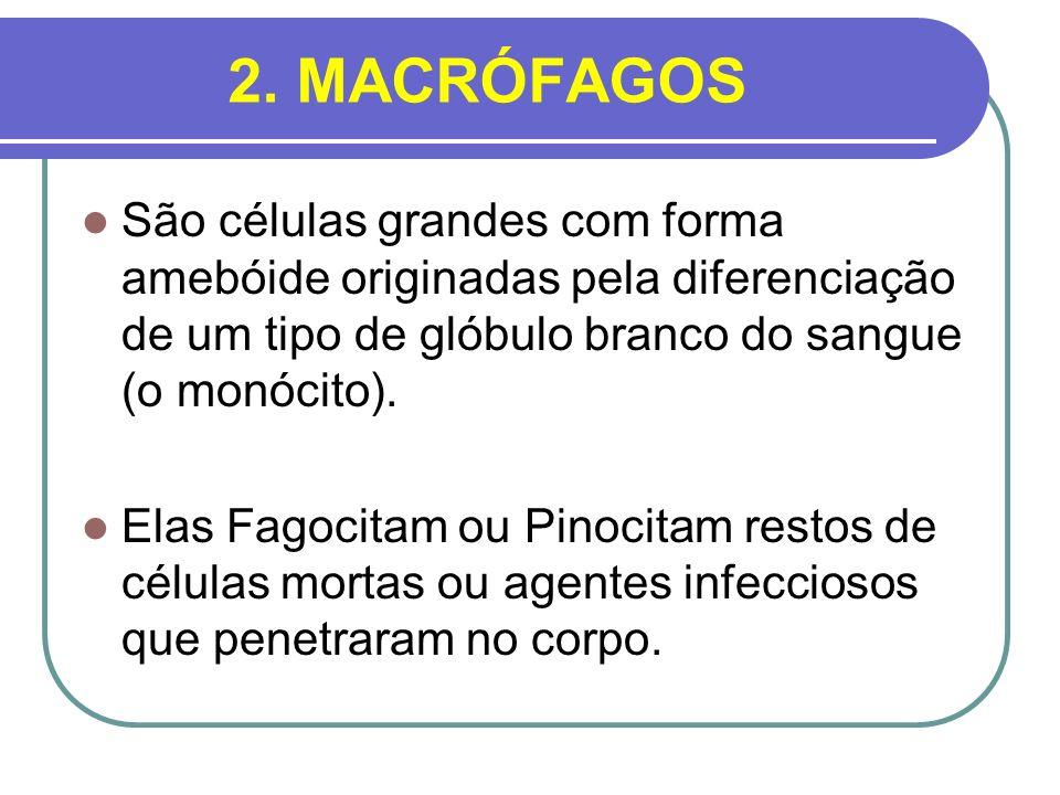 2. MACRÓFAGOS São células grandes com forma amebóide originadas pela diferenciação de um tipo de glóbulo branco do sangue (o monócito). Elas Fagocitam
