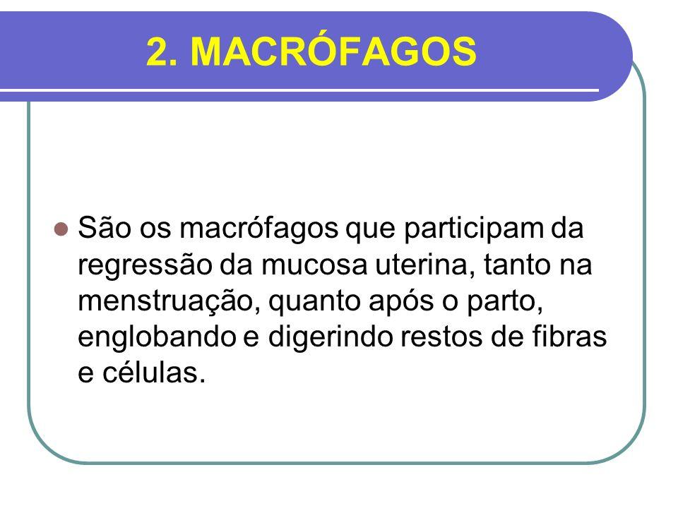 2. MACRÓFAGOS São os macrófagos que participam da regressão da mucosa uterina, tanto na menstruação, quanto após o parto, englobando e digerindo resto