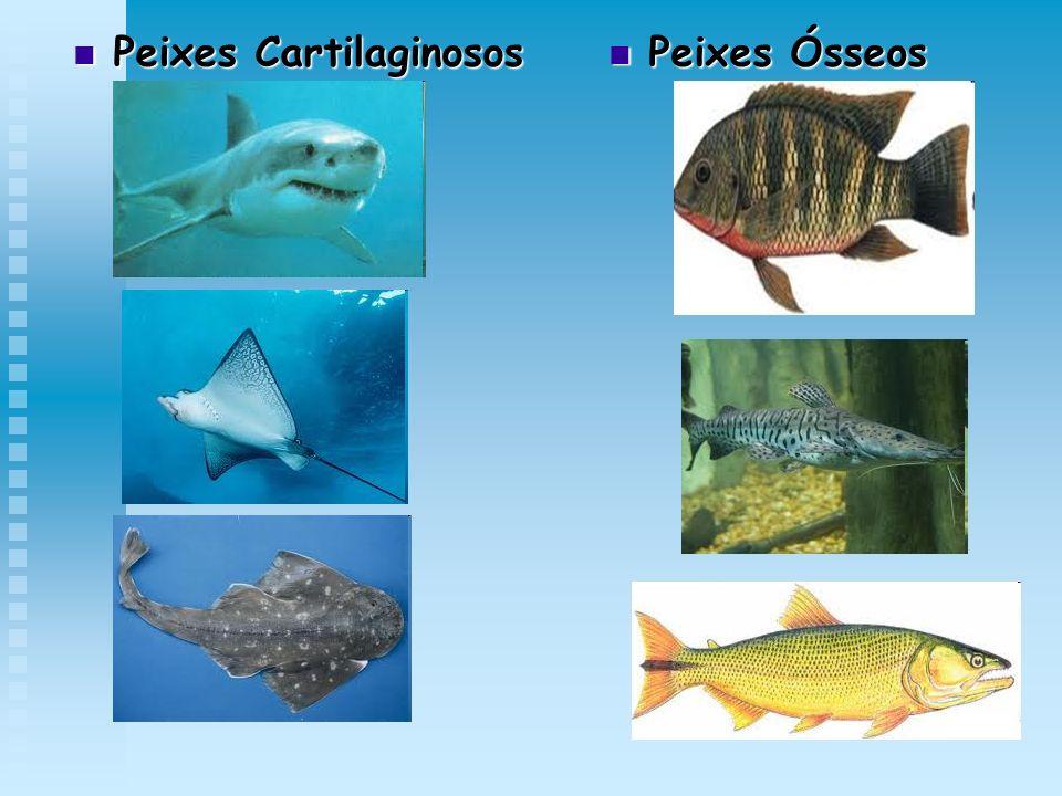 Peixes Cartilaginosos Peixes Cartilaginosos Peixes Ósseos