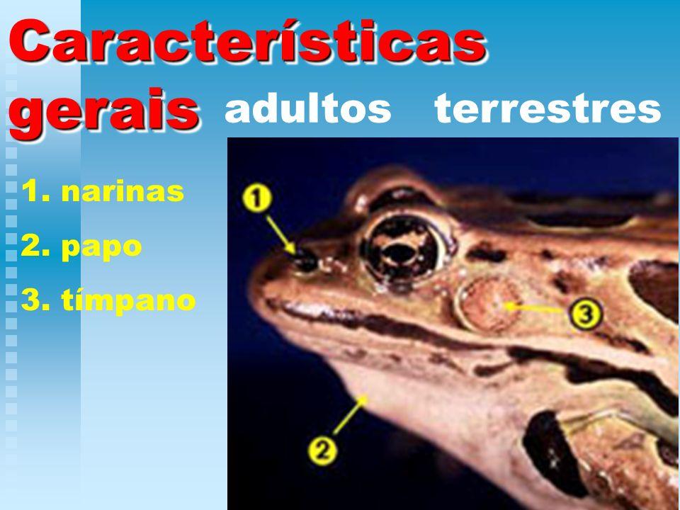 Características gerais adultos terrestres 1. narinas 2. papo 3. tímpano