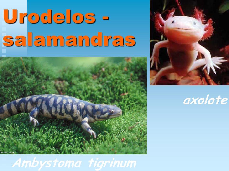 Urodelos - salamandras Ambystoma tigrinum axolote
