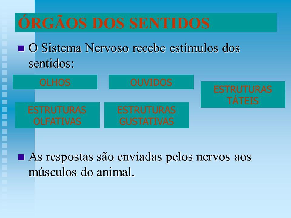 O Sistema Nervoso recebe estímulos dos sentidos: O Sistema Nervoso recebe estímulos dos sentidos: As respostas são enviadas pelos nervos aos músculos