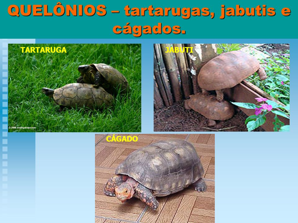 QUELÔNIOS – tartarugas, jabutis e cágados. TARTARUGAJABUTI CÁGADO