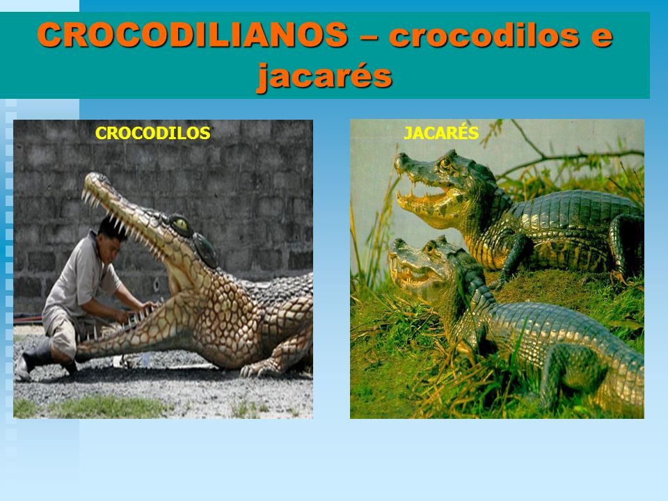 CROCODILIANOS – crocodilos e jacarés CROCODILOSJACARÉS