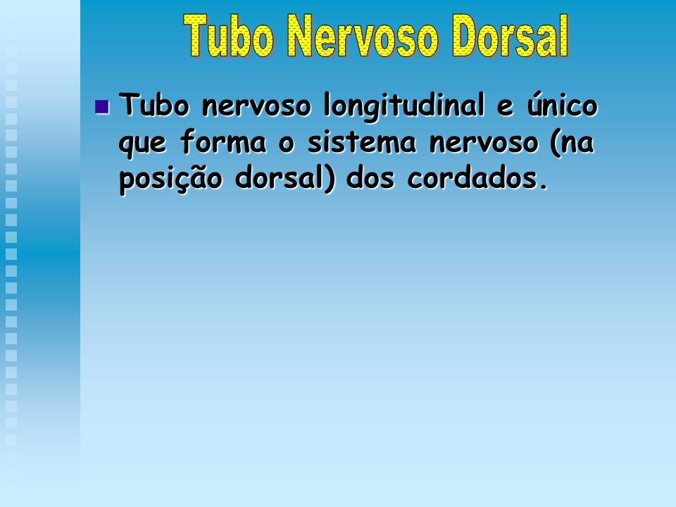 Tubo nervoso longitudinal e único que forma o sistema nervoso (na posição dorsal) dos cordados. Tubo nervoso longitudinal e único que forma o sistema
