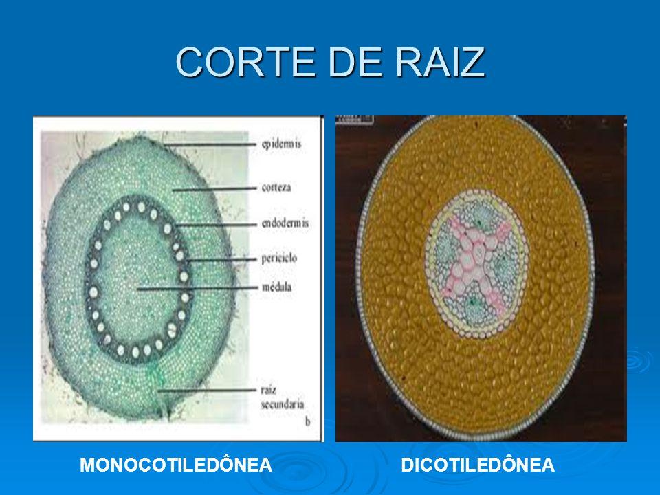 CORTE DE RAIZ MONOCOTILEDÔNEADICOTILEDÔNEA