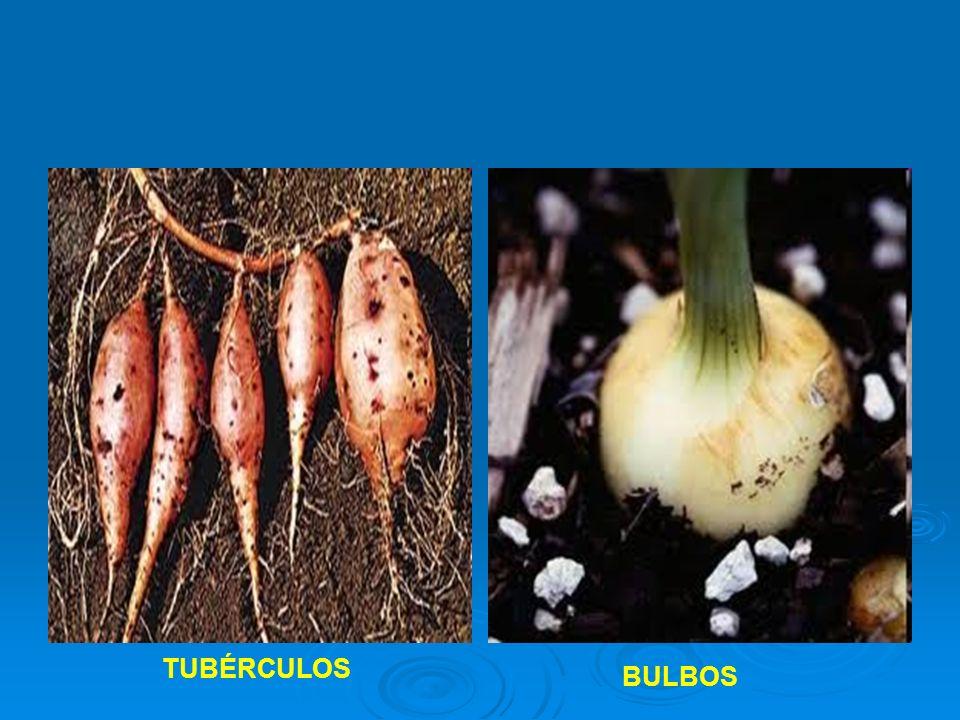 TUBÉRCULOS BULBOS