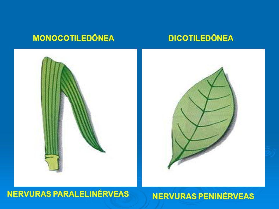 NERVURAS PARALELINÉRVEAS MONOCOTILEDÔNEA NERVURAS PENINÉRVEAS DICOTILEDÔNEA