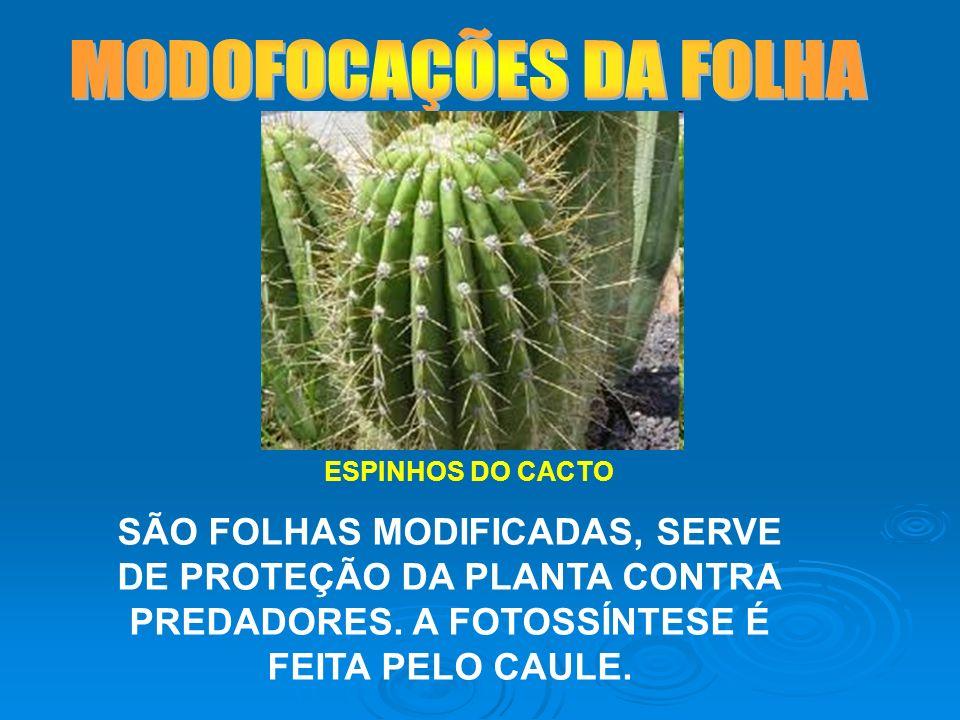 ESPINHOS DO CACTO SÃO FOLHAS MODIFICADAS, SERVE DE PROTEÇÃO DA PLANTA CONTRA PREDADORES. A FOTOSSÍNTESE É FEITA PELO CAULE.