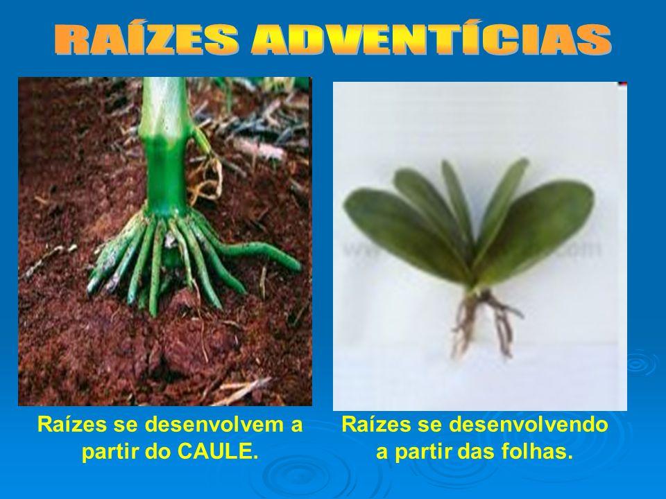 Raízes se desenvolvem a partir do CAULE. Raízes se desenvolvendo a partir das folhas.