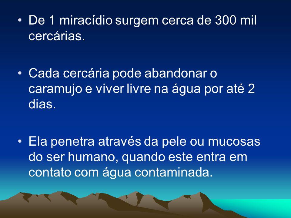 De 1 miracídio surgem cerca de 300 mil cercárias. Cada cercária pode abandonar o caramujo e viver livre na água por até 2 dias. Ela penetra através da