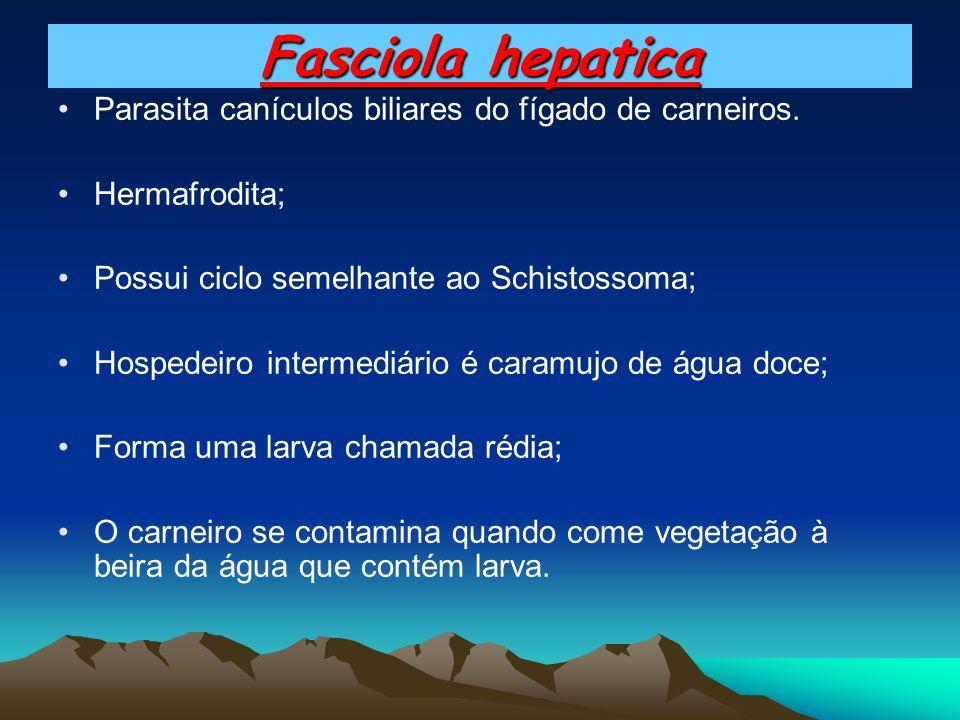 Fasciola hepatica Parasita canículos biliares do fígado de carneiros. Hermafrodita; Possui ciclo semelhante ao Schistossoma; Hospedeiro intermediário