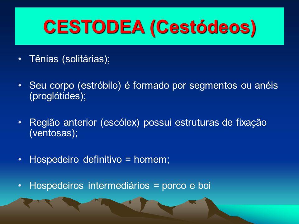 CESTODEA (Cestódeos) Tênias (solitárias); Seu corpo (estróbilo) é formado por segmentos ou anéis (proglótides); Região anterior (escólex) possui estru