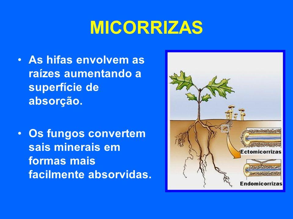 MICORRIZAS As hifas envolvem as raízes aumentando a superfície de absorção. Os fungos convertem sais minerais em formas mais facilmente absorvidas.