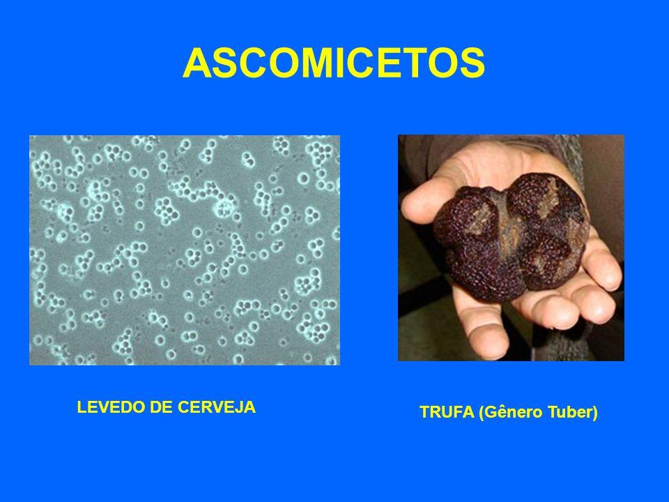 ASCOMICETOS LEVEDO DE CERVEJA TRUFA (Gênero Tuber)