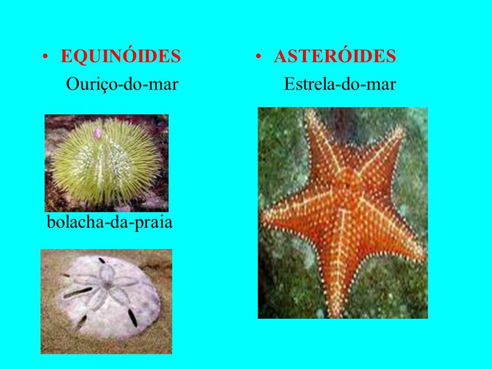 CLASSES ASTEROIDEA (Asteróides) ECHINOIDEA (Equinóides) OPHIUROIDEA (ofiuróides) HOLOTHUROIDEA (holoturóides) CRINOIDEA (crinóides)