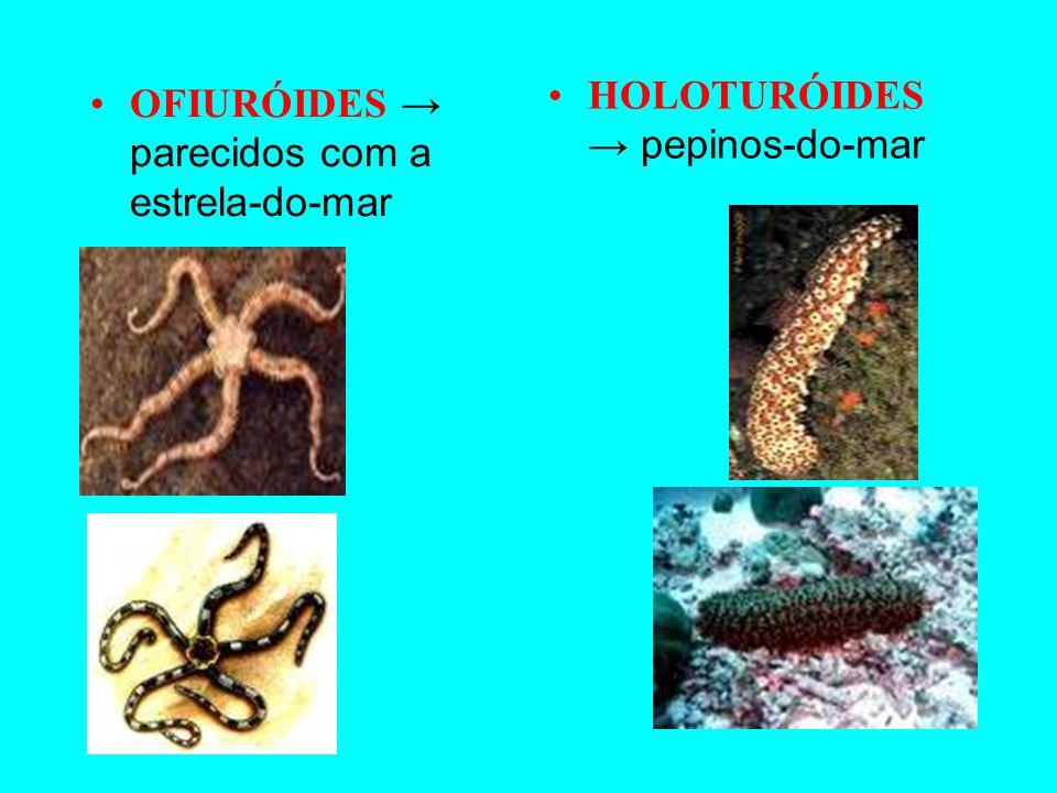 EQUINÓIDES Ouriço-do-mar bolacha-da-praia ASTERÓIDES Estrela-do-mar