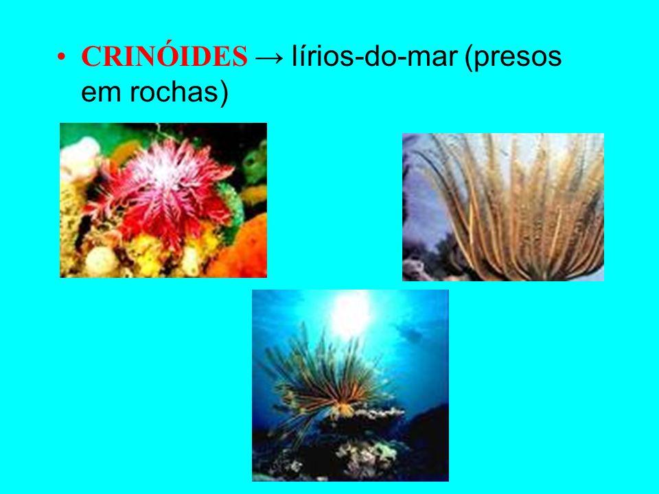 OFIURÓIDES parecidos com a estrela-do-mar HOLOTURÓIDES pepinos-do-mar