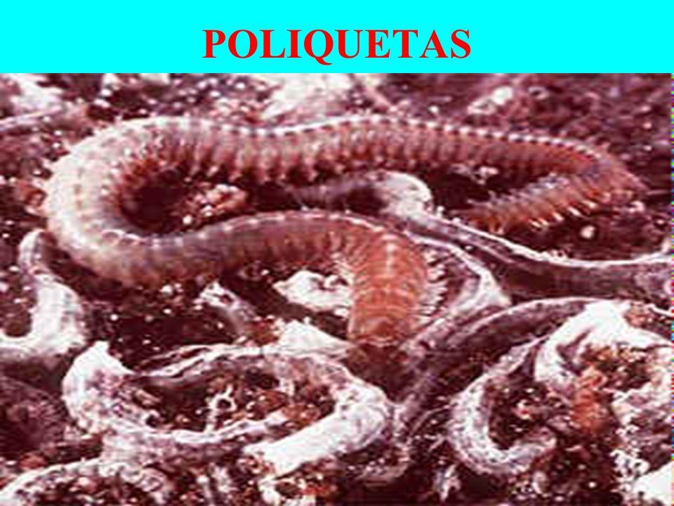 CLASSES BIVALVIA (Bivalves) ostra e mexilhão GASTROPODA (Gastrópodes) caramujo, lesma e caracóis.
