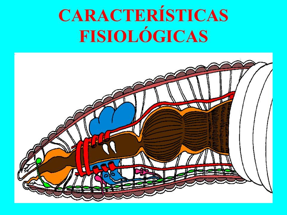 CARACTERÍSTICAS FISIOLÓGICAS Sistema Digestório Completo, presença de papo e moela Sistema Circulatório Fechado, com 5 corações Sistema Excretor Através de metanefrídeos.