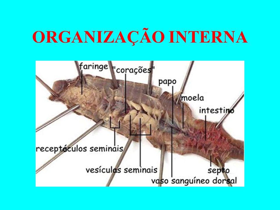 CARACTERÍSTICAS FISIOLÓGICAS Sistema Digestório Completo, presença de rádula; Sistema Circulatório Em geral é aberto, no polvo/lula fechada.