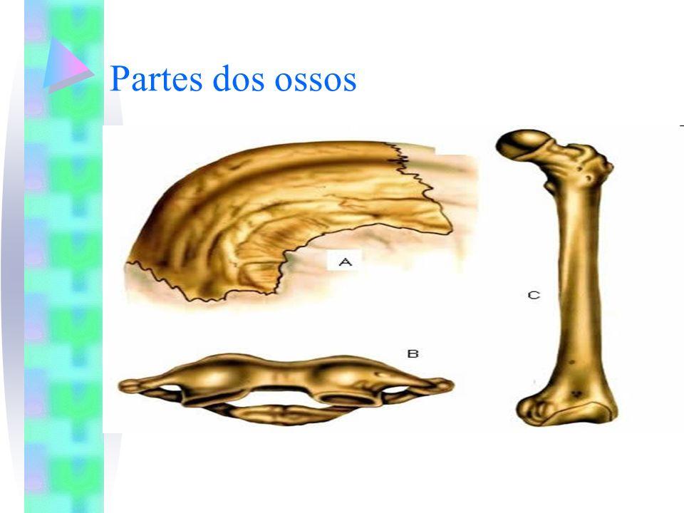 Partes dos ossos