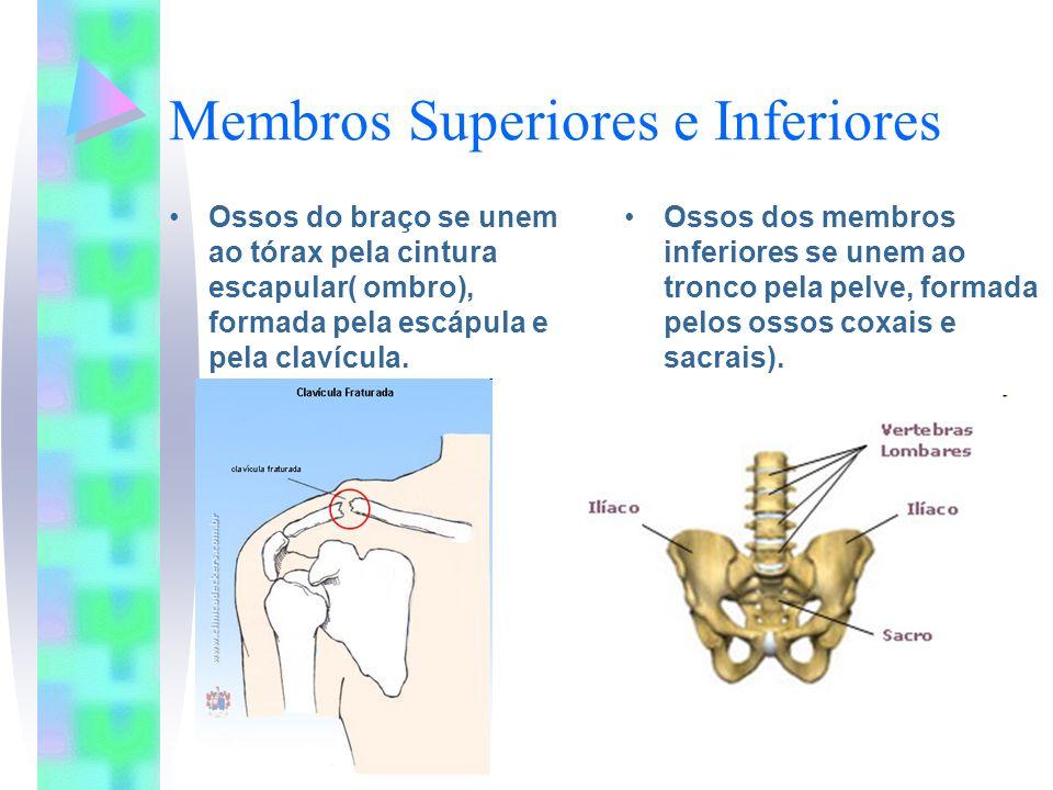 Membros Superiores e Inferiores Ossos do braço se unem ao tórax pela cintura escapular( ombro), formada pela escápula e pela clavícula. Ossos dos memb