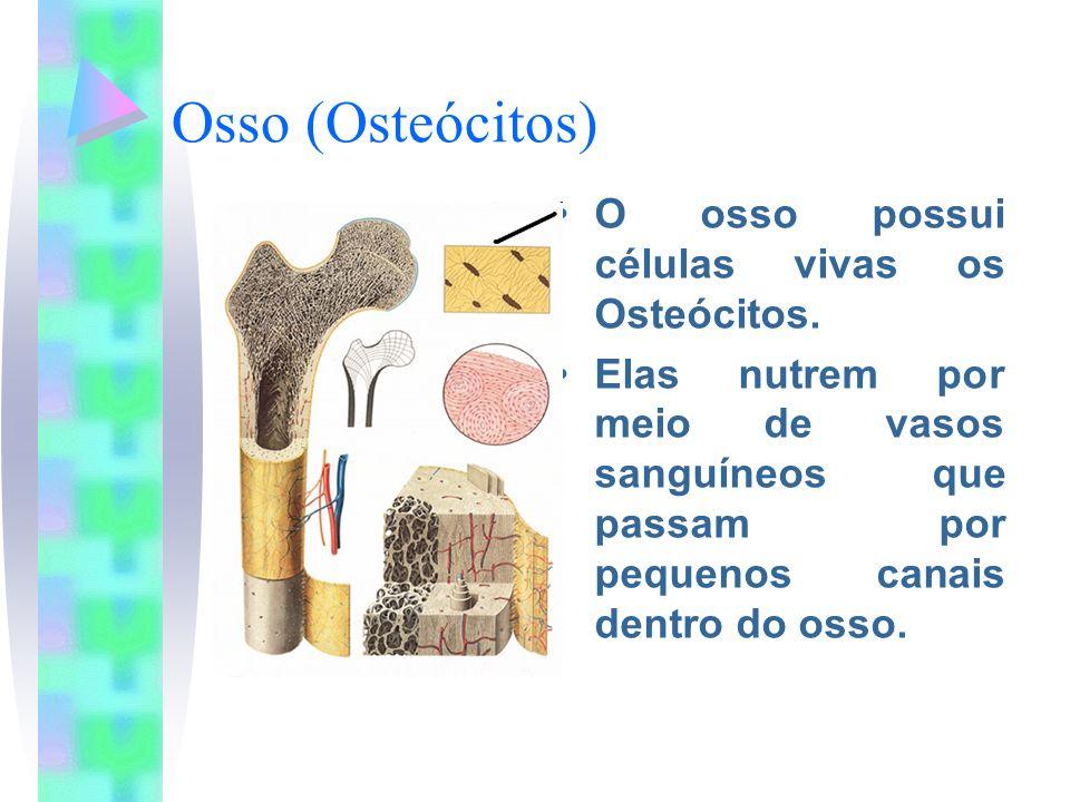 Osso (Osteócitos) O osso possui células vivas os Osteócitos. Elas nutrem por meio de vasos sanguíneos que passam por pequenos canais dentro do osso.