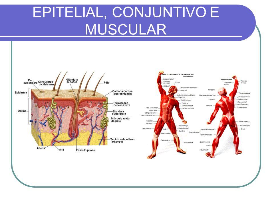 EPITELIAL, CONJUNTIVO E MUSCULAR