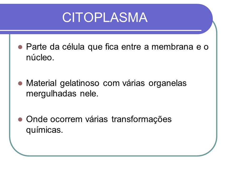 CITOPLASMA Parte da célula que fica entre a membrana e o núcleo. Material gelatinoso com várias organelas mergulhadas nele. Onde ocorrem várias transf
