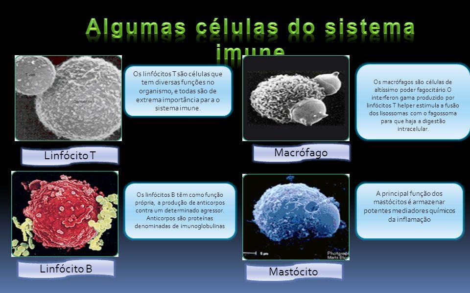 Linfócito T Linfócito B Macrófago Mastócito A principal função dos mastócitos é armazenar potentes mediadores químicos da inflamação Os linfócitos T s