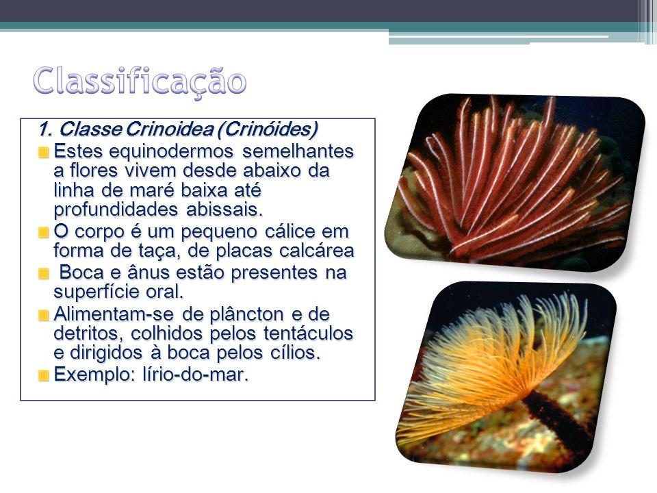 1. Classe Crinoidea (Crinóides) Estes equinodermos semelhantes a flores vivem desde abaixo da linha de maré baixa até profundidades abissais. O corpo
