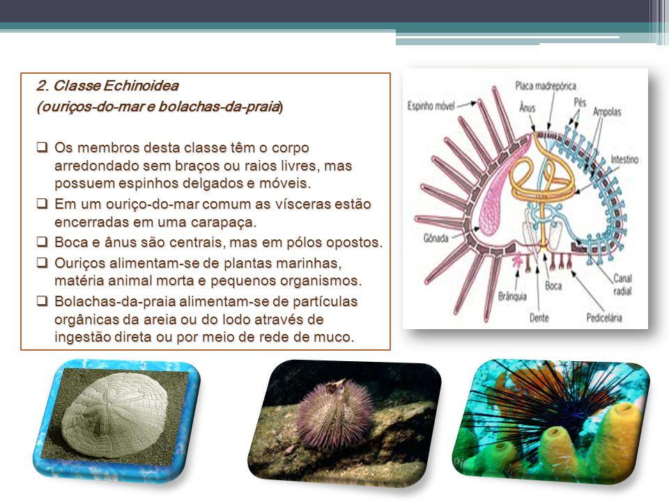 2. Classe Echinoidea (ouriços-do-mar e bolachas-da-praia) Os membros desta classe têm o corpo arredondado sem braços ou raios livres, mas possuem espi