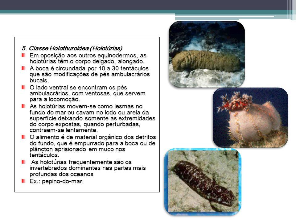 5. Classe Holothuroidea (Holotúrias) Em oposição aos outros equinodermos, as holotúrias têm o corpo delgado, alongado. A boca é circundada por 10 a 30