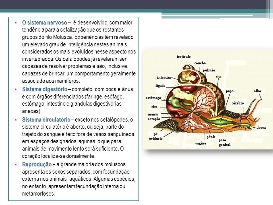 Corpo mole, geralmente coberto por uma concha calcária, produzida pelo manto. O corpo pode ser dividido nas seguintes partes: Cabeça Cabeça – contêm g