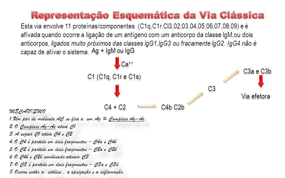 Ag + IgM ou IgG C1 (C1q, C1r e C1s) Ca ++ C4 + C2 C4b C2b Via efetora C3 C3a e C3b Esta via envolve 11 proteínas/componentes (C1q,C1r,Cl3,02,03,04,05,