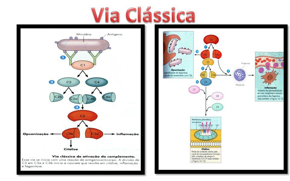 Foi descoberta apos a via clássica.A via altenativa NÃO envolve AC.