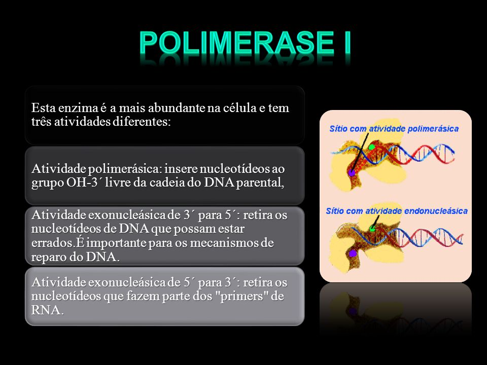 Esta enzima é a mais abundante na célula e tem três atividades diferentes: Atividade polimerásica: insere nucleotídeos ao grupo OH-3´ livre da cadeia