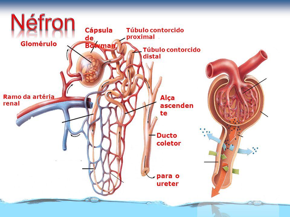 Cápsula de Bowman Glomérulo Alça descende nte Alça ascenden te Alça de Henle Ducto coletor capilares para o ureter Túbulo contorcido proximal Ramo da