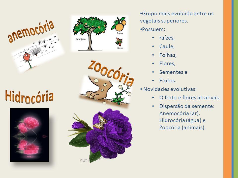 Grupo mais evoluído entre os vegetais superiores. Possuem: raízes, Caule, Folhas, Flores, Sementes e Frutos. Novidades evolutivas: O fruto e flores at