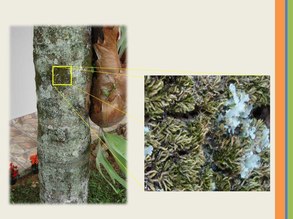 Primeiros vegetais portadores de vasos condutures de seiva – nutrientes; com isso conquistam, definitivamente, o ambiente terrestre.