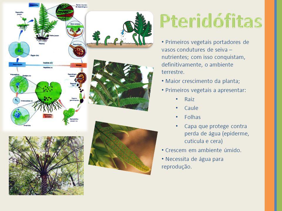 Primeiros vegetais portadores de vasos condutures de seiva – nutrientes; com isso conquistam, definitivamente, o ambiente terrestre. Maior crescimento