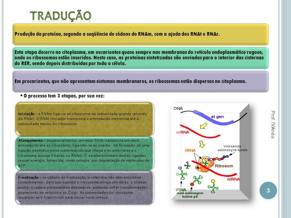 Produção da proteína, segundo a seqüência de códons do RNAm, com a ajuda dos RNAt e RNAr. Esta etapa decorre no citoplasma, em eucariontes quase sempr